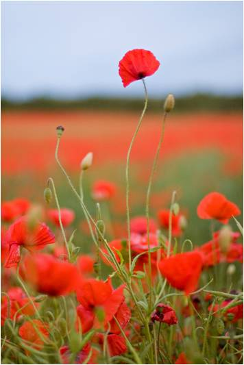 tall-poppies.jpg